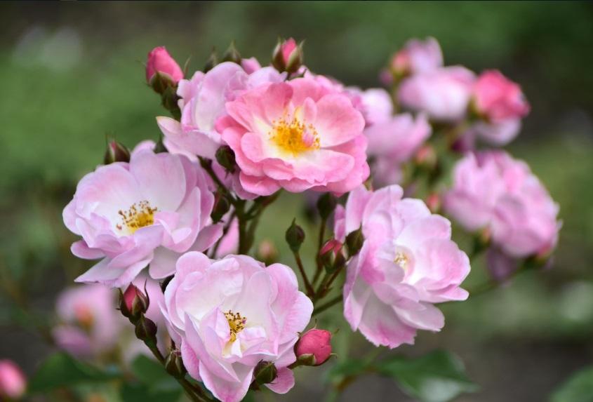 ботанический сад розы