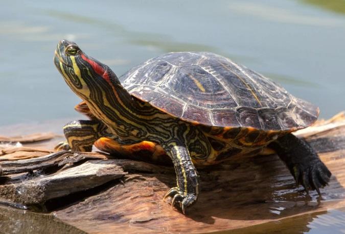 красноухая черепаха фото